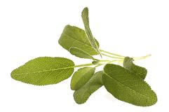 Fresh sage Stock Images