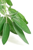 Fresh sage. Bunch of sage isolated on white background royalty free stock photo