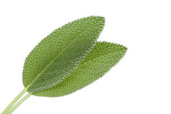 Fresh sage Royalty Free Stock Images