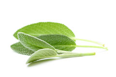 Fresh sage Royalty Free Stock Photography