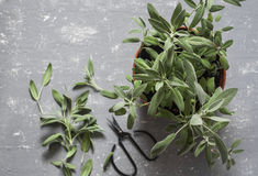 Fresh sage in a flower pot on grey background. Top view stock photography