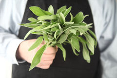 Fresh sage held by man Stock Images