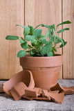 Fresh Sage Herb In Terracotta Pot Stock Images
