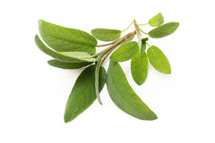Fresh sage. Isolated on white Stock Photography