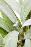Fresh sage leaf, closeup Stock Photos