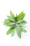 Fresh sage leaf on white background Stock Images