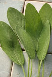 Fresh sage leaves. Tiled background Royalty Free Stock Photography