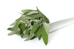 Fresh sage leaves Stock Photos