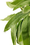Fresh sage leaves Stock Photography