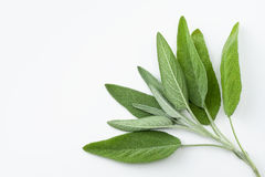 Fresh sage leaves Royalty Free Stock Images
