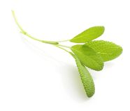 Fresh sage leaves Royalty Free Stock Photo