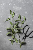 Fresh sage leaves and vintage scissors on a grey background, top view. Free space royalty free stock photography