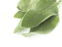 Fresh sage leaves Royalty Free Stock Image