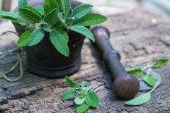 Fresh sage in a mortar Royalty Free Stock Images