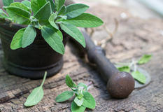 Fresh sage in a mortar Stock Photography