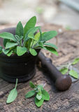 Fresh sage in a mortar Royalty Free Stock Image
