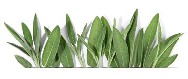 Fresh Sage - Panorama royalty free stock photography