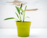 Fresh sage potted on white shabby wooden background. Sage planted in pots with copy space. royalty free stock image