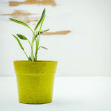 Fresh sage potted on white shabby wooden background. Sage planted in pots with copy space. stock image