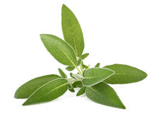 Fresh  sage sprig. On white background Stock Image