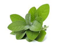 Fresh sage Stock Image