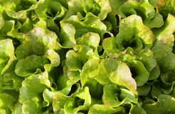 Fresh salad background just watered Stock Photos
