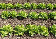 Fresh salad on bed in the sunlight Stock Photo
