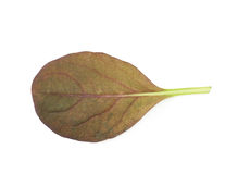 Fresh salad leaf isolated Royalty Free Stock Photography