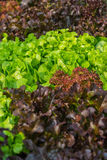 Fresh salad leave Butter head lettuce and Red oak in the Organic Royalty Free Stock Image