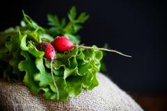 Fresh salad leaves with organic radish and herbs Royalty Free Stock Photos