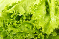 Fresh salad lettuce Royalty Free Stock Photo