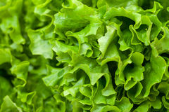 Fresh Salad Lettuce Royalty Free Stock Photography