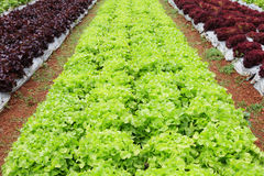 Fresh salad and lettuce plantation Royalty Free Stock Images