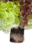 Fresh salad with roots in soil. Fresh lettuce salad with roots in soil isolated on white Stock Image