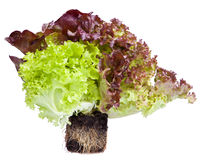 Fresh salad with roots in soil. Fresh lettuce salad with roots in soil isolated on white Stock Photo