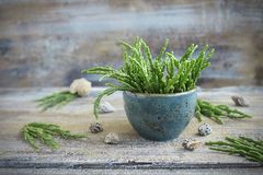 Fresh Salicornia - the sea asparagus. In a blue Cup on the old background Royalty Free Stock Photos