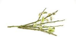 Fresh salix branches Stock Photo