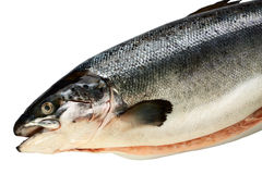 Fresh salmon. The fresh salmon isolated on a white background Royalty Free Stock Photo
