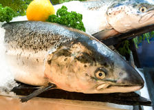 Fresh salmon fish on ice. In the market Royalty Free Stock Images