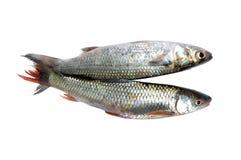 Fresh salmon fish Royalty Free Stock Photos