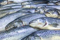 Fresh salmon fish. Rows of whole fresh salmon fish in the market royalty free stock photo