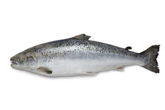 Fresh salmon fish Stock Photo