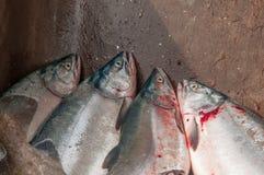 Fresh Salmon. Freshly caught Salmon fish, Seward, Alaska USA Stock Photo