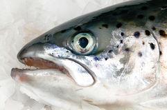 Fresh salmon head Royalty Free Stock Photography