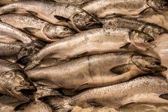 Fresh Salmon on Ice Royalty Free Stock Photo