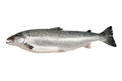 Fresh salmon isolated Royalty Free Stock Photos