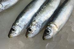 Fresh salt water Sardines Royalty Free Stock Photo
