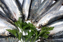 Fresh salt water Sardines Royalty Free Stock Images