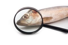 Fresh-salted herring with red eyes. Herring fresh-salted fish head red eyes through magnifying glass magnifier on white background Stock Image