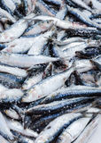 Fresh salted sardines displayed on fish market in Essaouira, Mor Stock Images